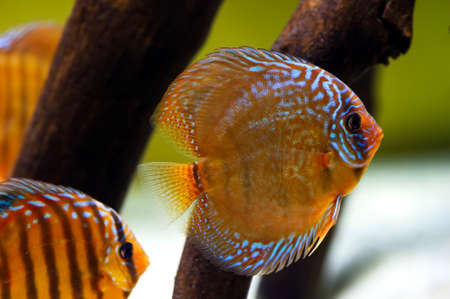 symphysodon: Discus fish Symphysodon, exotic tropical orange fish with blue striped pattern swimming underwater among other fish, brown driftwood and white sand on background, sealife Stock Photo