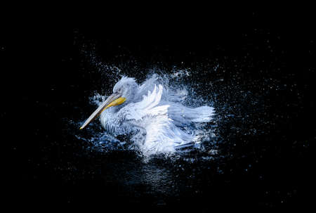 flapping: Big white pelican with flapping wings and drops of water swimming in black pond, wildlife