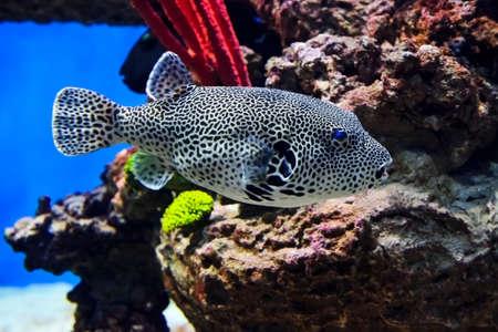 背景、インドネシア、野生動物から arothron マッパ ダイビング、黒と白のパターンを持つフグ発見マップふぐ水中のサンゴや石で