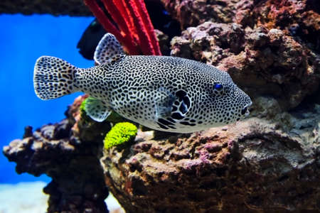 eyes cave: Puffer fish with black and white pattern, diving, spotted map pufferfish underwater with corals and stones on background, arothron mappa from Indonesia, wildlife
