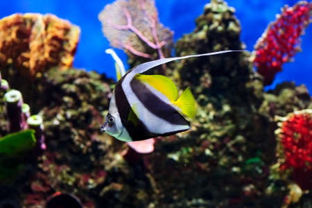 zanclus cornutus: Moorish idol fish with striped pattern on body of yellow, white and black colors swims near stones and colorful corals underwater, diving, Zanclus cornutus, sealife, selective focus Stock Photo