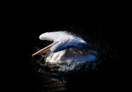 flapping: Pelican with flapping wings and blue drops of water swimming in deep black sea, wildlife