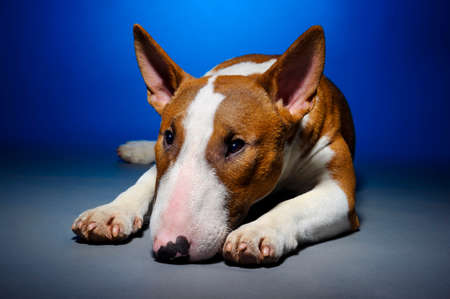 Bull terrier, portrait of cute sad purebred dog lying on blue grey background, studio shot Stock Photo