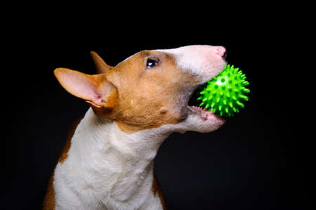 Funny bull terrier with spiked green ball on black background