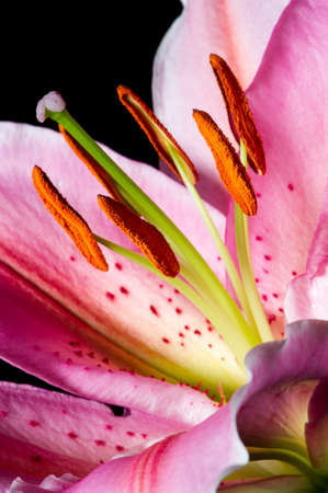 lilia: Lily, tropical flower with white-pink petals isolated on black background, closeup Stock Photo