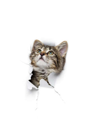kitty cat: Kitty in hole of paper, little grey tabby cat looking through torn white background, funny pet Stock Photo