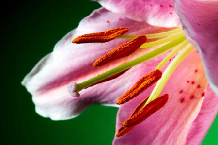 lilia: Lily flower with white-pink petals on dark green background, closeup
