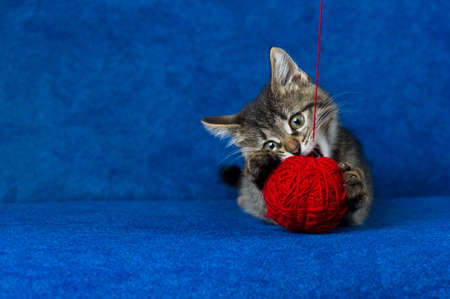 Kitty with red yarn ball, little grey tabby cat playing with skein of tangled sewing threads on blue background Stock Photo