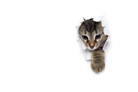 kitty cat: Cat in hole of paper, little grey tabby kitty getting out through torn white background, funny pet Stock Photo