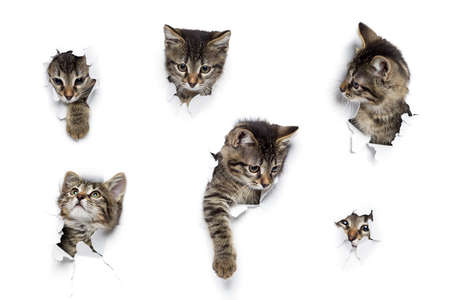Kittens in holes of paper, little grey tabby cats peeking out of torn white background, six funny playing pets Stock Photo