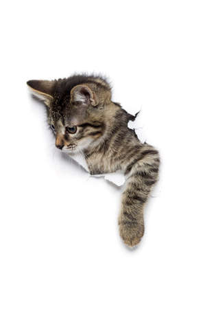 Kitty in hole of paper, little grey tabby cat getting out through torn white background, funny pet Stock Photo
