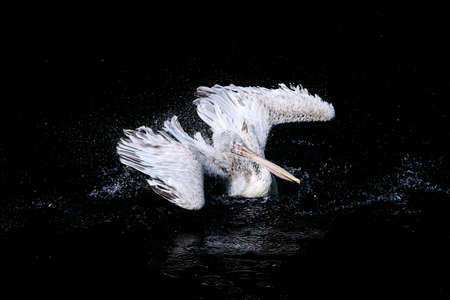 pelecanus: Pelican with flapping wings and blue drops of water swimming in deep black sea, wildlife