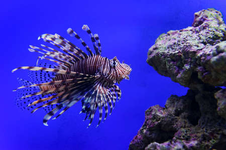Lionfish with striped pattern on body swims near stones and coral reef underwater, diving, sealife, selective focus Stock Photo