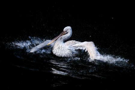 Big White Pelican Schwimmen im schwarzen Wasser Teich, Wildlife Lizenzfreie Bilder