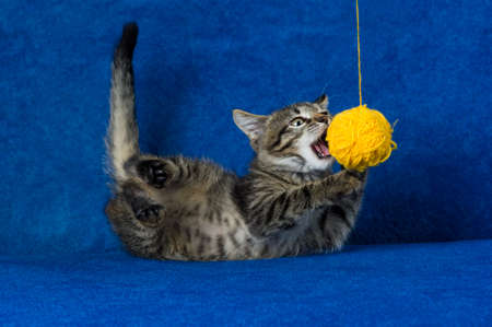 Kitty with yellow yarn ball, little gray tabby cat playing with skein of tangled clothes on blue background