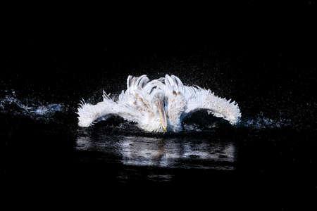 Weißer großer Pelikan mit flatternden Flügeln und Wassertropfen Schwimmen im schwarzen Wasser