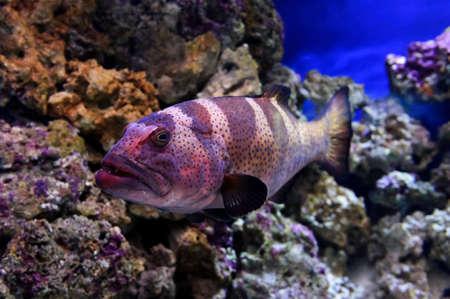 Red Coral Zackenbarsch, große blau gefleckte Fische schwimmt in der Nähe von Steinen Unterwasser, Tauchen, Siegel, selektiven Fokus