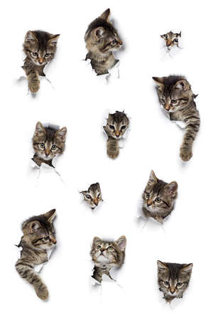 Cats in holes of paper, little gray tabby kittens peeking out of torn white background