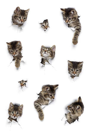 Kittens in holes of paper, little gray tabby cats peeking out of torn white background Standard-Bild