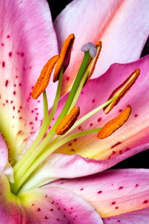 Lily, tropical flower with white-pink petals, detail, macro shot, selective focus Zdjęcie Seryjne