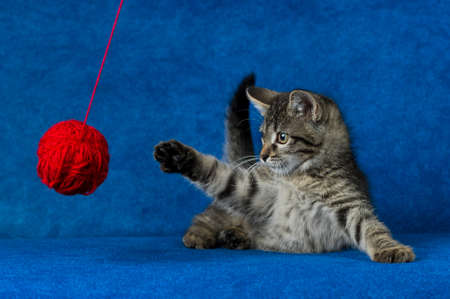 Kitty with red yarn ball, little grey tabby cat playing with skein of tangled sewing threads on blue background Imagens