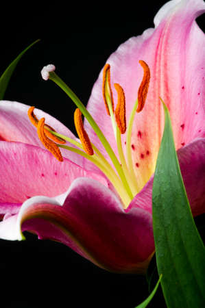 Lily, tropical flower with white-pink petals and green leaf isolated on black background, closeup Standard-Bild - 119609000