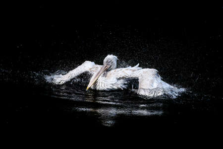 White big pelican with flapping wings and drops of water swimming in black water Stok Fotoğraf