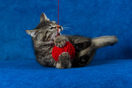 Cat with red woolen ball, little grey tabby kitty playing with skein of tangled sewing threads on blue background