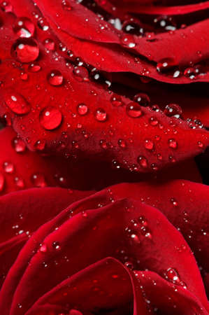 Red rose bud with water drops on petals, macro shot of flower, nature abstraction, selective focus