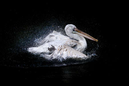 Big pelican with flapping wings and blue drops swimming in black water of dark ocean, wildlife