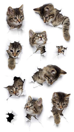 Cats in holes of paper, little grey tabby kittens peeking out of torn white background, nine funny playing pets