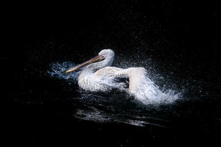 Big white pelican with flapping wings and drops of water swimming in black pond, wildlife