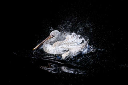 White pelican with flapping wings swimming in dark water
