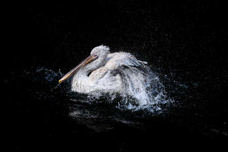 White pelican with flapping wings and drops of water swimming in dark pond