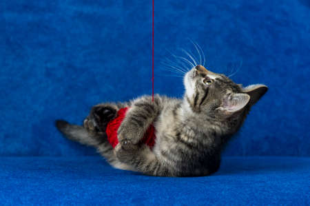 Kitty with red yarn ball, cute grey tabby cat playing with skein of tangled sewing threads on blue sofa