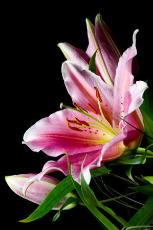 Lily, bunch of tropical flowers with white-pink petals and bright green leaves on black background, natural concept, closeup