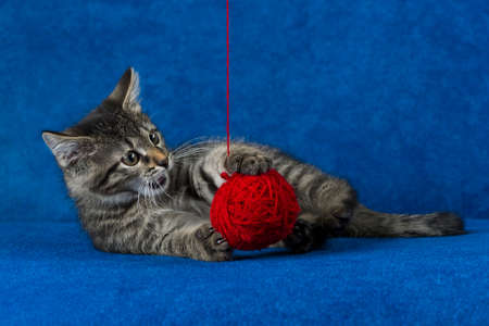 Kitty with red yarn ball, cute grey tabby cat playing with skein of tangled sewing threads on blue background Zdjęcie Seryjne