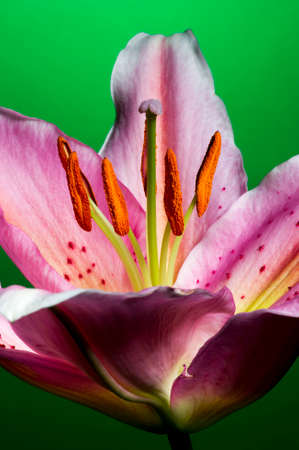 Lily, tropical flower with white-pink petals isolated on dark green background, macrophotography
