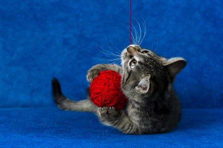 Kitty with red yarn ball, cute gray tabby cat playing with skein of tangled sewing threads on blue background
