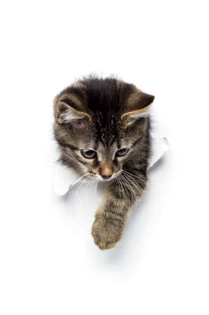 Kitty in hole of paper, little gray tabby cat getting out through torn white background, funny pet