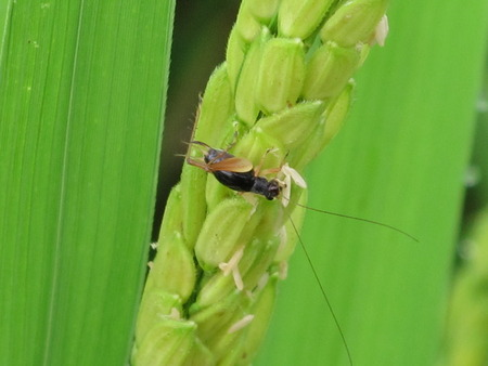 insect on leaf: insect on green leaf rice Stock Photo