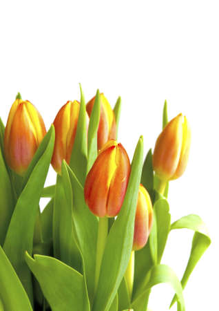 Spring tulip on white background ready to bloom