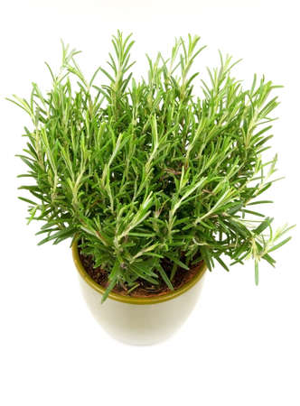 Rosemary plant in a green flower pot photo