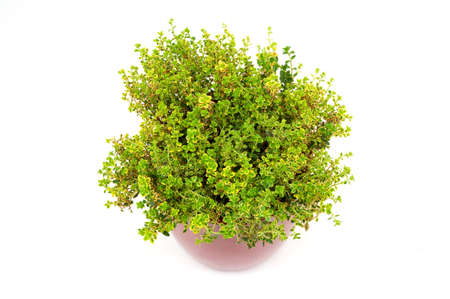 Lemon Thyme herb in pot isolated on white Stock Photo
