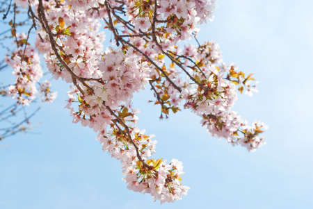 Cherry Blossom in bloom in spring time