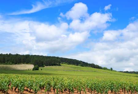 Vineyards of Burgundy in France Stock Photo