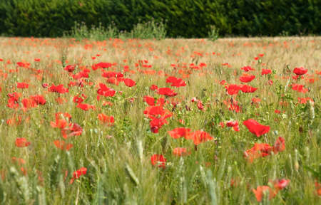 Field of poppies and grass Stock Photo - 7373687