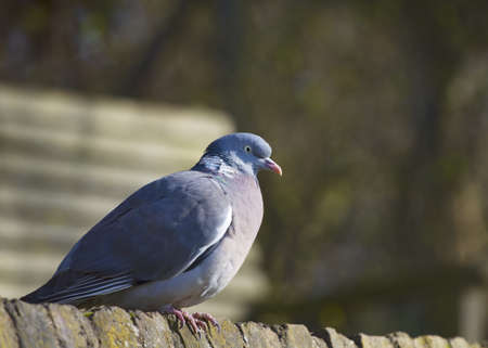 Wood Pigeon sitting on a wall Stock Photo
