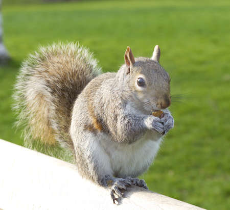 Squirrel sitting on a bench eating.