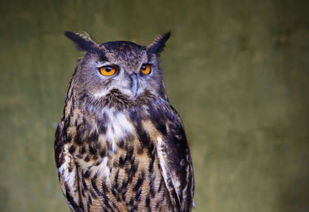 wise old owl: Portrait of an Owl with slight vingette added